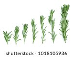 fresh green rosemary isolated... | Shutterstock . vector #1018105936