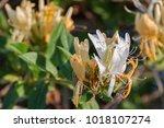 Blooming Wild Honeysuckle ...