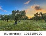 sunrise over olive grove near... | Shutterstock . vector #1018159120