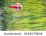 pink flamingo in colorful water ... | Shutterstock . vector #1018175818