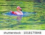 pink flamingo bathing in... | Shutterstock . vector #1018175848