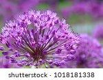 violet flowers on a fancy... | Shutterstock . vector #1018181338