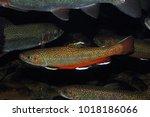 Brook Trout (Salvelinus fontinalis) - captive in aquarium.