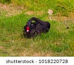 beautiful west australian black ...   Shutterstock . vector #1018220728