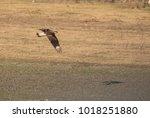 caracars in flight | Shutterstock . vector #1018251880