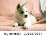 puppy breed husky. american...   Shutterstock . vector #1018273984