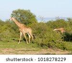 african giraffe on the ground | Shutterstock . vector #1018278229
