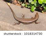 common lizard on the concrete... | Shutterstock . vector #1018314730