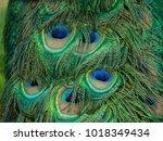 plumage of a peacock   Shutterstock . vector #1018349434