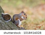 eastern gray squirrel eating an ... | Shutterstock . vector #1018416028