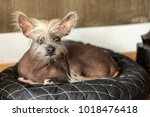 portrait of a chinese hairless... | Shutterstock . vector #1018476418