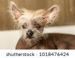 portrait of a chinese hairless... | Shutterstock . vector #1018476424