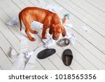 Stock photo naughty redheaded puppy made a mess in the apartment the dog is home alone 1018565356