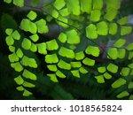 Small photo of Maidenhair ferns, Adiantum tenerum cv. Farleyense, capillus veneris, raddianum, on dark background.