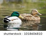 Male and female mallard duck swimming on a pond with green water while looking for food