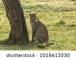 A Leopard Resting Under Tree O...
