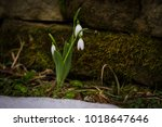 spring flowers snowdrops ... | Shutterstock . vector #1018647646