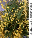 Small photo of Mimosa plant yellow, acacia dealbata, known as silver wattle, blue wattle or mimosa