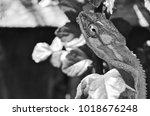 chameleon deep stare black and... | Shutterstock . vector #1018676248