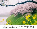 sakura cherry blossom with... | Shutterstock . vector #1018711594