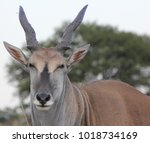 Close Up Of A Common Eland ...