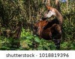 an okapi roaming in the forest. | Shutterstock . vector #1018819396