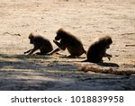 group of baboons  | Shutterstock . vector #1018839958