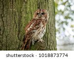 The Tawny Owl Or Brown Owl Is ...