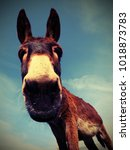 Big Donkey With Long Ears While ...