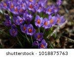 fresh beautiful purple crocuses....   Shutterstock . vector #1018875763