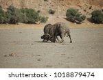 two huge water buffalos... | Shutterstock . vector #1018879474