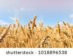 Golden Wheat Field On Blue Sky...
