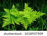 bright green fern plants... | Shutterstock . vector #1018937509