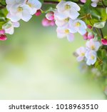 apple tree blossoms with green... | Shutterstock . vector #1018963510