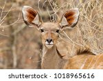 Greater Kudu Female Portrait I...