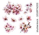 watercolor cherry blossom.... | Shutterstock . vector #1018976203