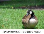 sitting goose in the green... | Shutterstock . vector #1018977580