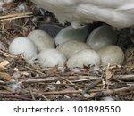 Breeding Mute Swan  Cygnus Olo...