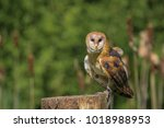 barn owl  british columbia ... | Shutterstock . vector #1018988953