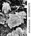 Small photo of Rain drops on oaf leafs