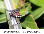 closeup of blow fly or carrion... | Shutterstock . vector #1019005348