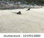 two iguanas crawling on the... | Shutterstock . vector #1019013880