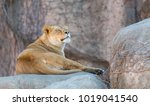 Beautiful Adult Lioness On A...