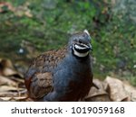 timid reserved king quail with...   Shutterstock . vector #1019059168