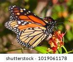 2 monarch butterflies on flower ... | Shutterstock . vector #1019061178