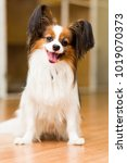 the papillon dog sits...   Shutterstock . vector #1019070373