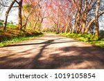 the road to flowers cherry...   Shutterstock . vector #1019105854