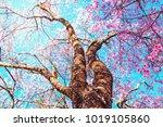 shot of beautiful cherry...   Shutterstock . vector #1019105860