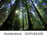 The Tallest Trees In The World...