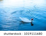 floating duck in small lake... | Shutterstock . vector #1019111680